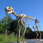 Skeleton of a cat