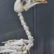 Bird skeleton