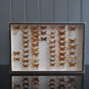 Case of butterflies 2