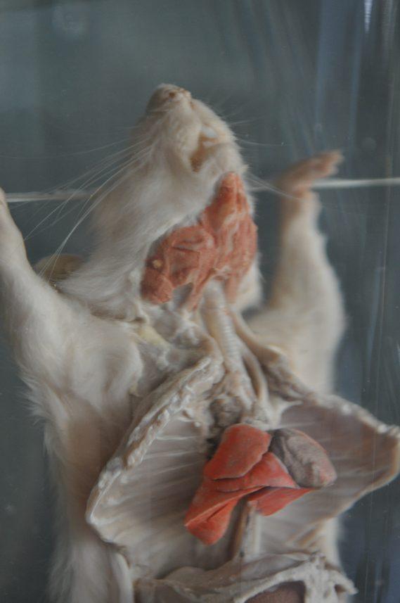 Rat in jar