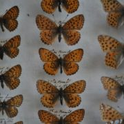 Case of butterflies 2