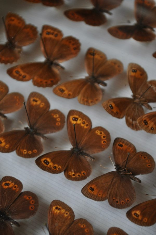 case of butterflies