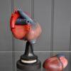 Cased model of heart
